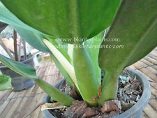 """Very New Philodendron """"Fat Branch"""" Very Lovely Plant +Free Phyto Don't miss@@"""