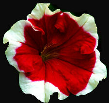 PICOTEE PETUNIA Large Red Flowers Edged White Planters Hanging Baskets 30 Seeds