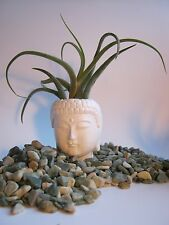 Buddha Head Planter, Small White Pot For Succulants And Air Plants