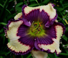 Daylily Seeds (Mathew Weldon x Lacia Babb) (9) Seeds