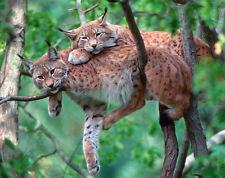 Mauspad aus der Edition Colibri: zwei Luchse im Baum - two Lynx resting - neu