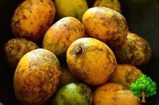 7 SEED HOG PALM SPONDIAS MANGIFERA RARE FRUIT NATIVE THAI EXOTIC COOKING 2016