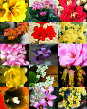 FLOWERING KALANCHOE MIX rare plant exotic cactus flower succulents seed 50 seeds