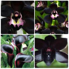 100 Raro Semillas de Negro Cymbidium Faberi Orquídea Flores Jardín Planta Hogar