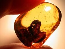 Super RARE Giant Hymenaea Flower EXTINCT in Authentic Dominican Amber Gemstone