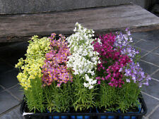 toadflax, BABY SNAPDRAGON, snap dragon 390 seeds! GroCo
