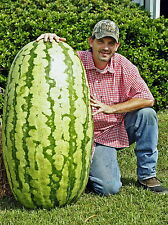 10 SEMI ANGURIA GIGANTE: GUINNESS WORLD RECORD 2010 - 132 KG