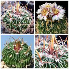 50 semi di Echinofossulocactus erectocentrus ,piante grasse,seeds cactus