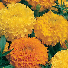 Flower Seeds AFRICAN GIANT MARIGOLD- Double Mixed Color Flower- Pack of 30 Seeds