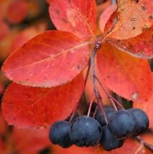 Chokeberry 20 Seeds, Aronia - Fruits/Antioxidant