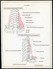 Original Anatomical Drawing-SCALENE-ANTERIOR-MEDIUS-NECK-HUMAN-MUSCLE-1975