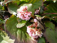 2 ORGANIC NORFOLK BERGENIA CORDIFOLIA ROOTS, SPRING FLOWERING GARDEN PLANTS