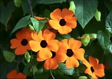 50 Graines Thunbergia alata Suzanne aux yeux noirs 'Black-eyed Susan vine' seeds