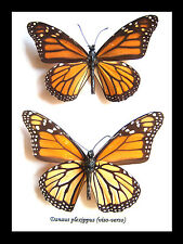 Taxidermy - Real framed Monarch butterfly
