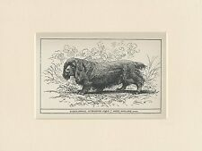 SUSSEX SPANIEL RARE ANTIQUE 1900 ENGRAVING NAMED DOG PRINT READY MOUNTED