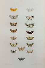 Antique Victorian Moth Print by Rev. Morris, Hand Coloured Engraving (ref 23)