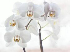 ORCHID FLOWERS WHITE PHOTO ART PRINT POSTER PICTURE BMP027A