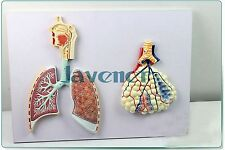 Human Anatomical Human Respiratory System Anatomy Medical teaching Model Lung
