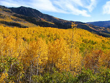 500 Quaking Aspen Tree Seeds, Fast Growing, (Populus tremuloides), Zones 1-6,