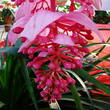 50pcs Medinilla seeds,Pink bud acid foot pole, family potted plants seeds New