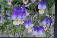 50 Semi wildes Viola del pensiero,Viole tricolore#513