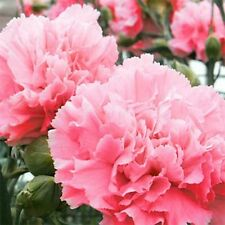 Carnation- Rose- 25 Seeds - 50 % off sale