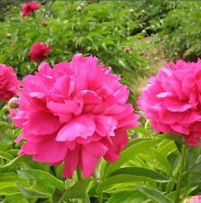 FD1582 Herbaceous Peony Seed Paeonia Lactiflora Garden Flower ~1 Pack 6 Seeds~ G