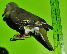 Pompadour Green Pigeon Treron sp. Taxidermy FAST SHIP FROM USA