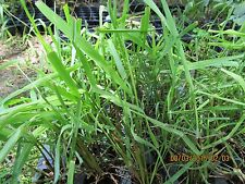 Lemon Grass, Mosquito Repellent, 2 inch root clump  live plant