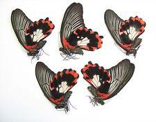 Papilio rumanzovia 5 females WHITE form