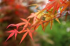 6 Japanese Maples (Acer sp.) garden plants flowers shrub tree pot