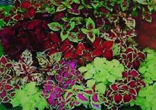Coleus Mixed Varieties and Colors -20+Seeds Ohio Grown,$2.00  Max Shipping