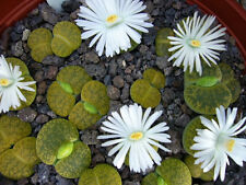Lithops lesliei v albinica, living stone rock stone cactus cacti seed 100 SEEDS