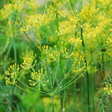 Dill culinary Herb garden 200 seeds