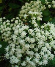 BONESET WHITE SNAKEROOT * Eupatorium perfoliatum * NA WILDFLOWER SEEDS
