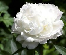 50+ WHITE CLOUD DOUBLE PEONY  (SELF-SEEDING ANNUAL) PAPAVER FLOWER SEEDS
