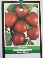 4'-5' MORRIS PLUM Fruit Tree Plums Plant Plums Trees Ship to all 50 States USA !