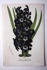 Genuine antique flower print LORD MELVILLE van Houtte c.1860