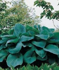 BIG DADDY LARGE HOSTA PLANT BUY ANY 5 GET 1 FREE MY CHOICE