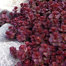 "50+ HEIRLOOM FLOWERING GROUNDCOVER SEEDS -  STONECROP SEDUM - ""VOODOO"" VINE SEED"
