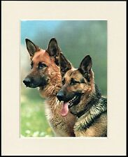 GERMAN SHEPHERD DOGS HEAD STUDY GREAT LITTLE DOG PRINT MOUNTED READY TO FRAME