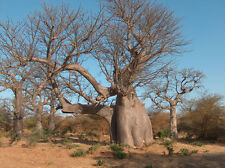 Baobab Tree (Adansonia digitata )  10 seeds