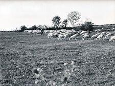 MEYRUEIS c. 1960 - Le Berger et ses Brebies dans les Causses  Lozère - Div 6098