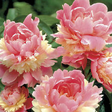 10pcs Rare Colorful Pink Double Blooms Peony Tree Seeds Bonsai Plant Home Garden