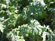 250 Russian Red Kale Seeds Non-GMO Highly Nutritious Grows Well in Cold Weather