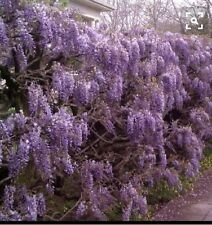 WISTERIA VINE 4'-6', bare root Plant  That produce foot long lavender bloom