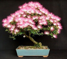 50 seeds Mimosa Albizia Julibrissin Exotic flower Persian silk bonsai tree pink