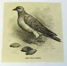 1885 magazine engraving ~ THE WILD PIGEON