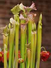 10 Seeds - White Pitcher Plant - Sarracenia leucophylla