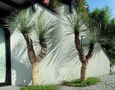 Immagine radice fine inverno duro Yucca rostrata schnellwüchs.